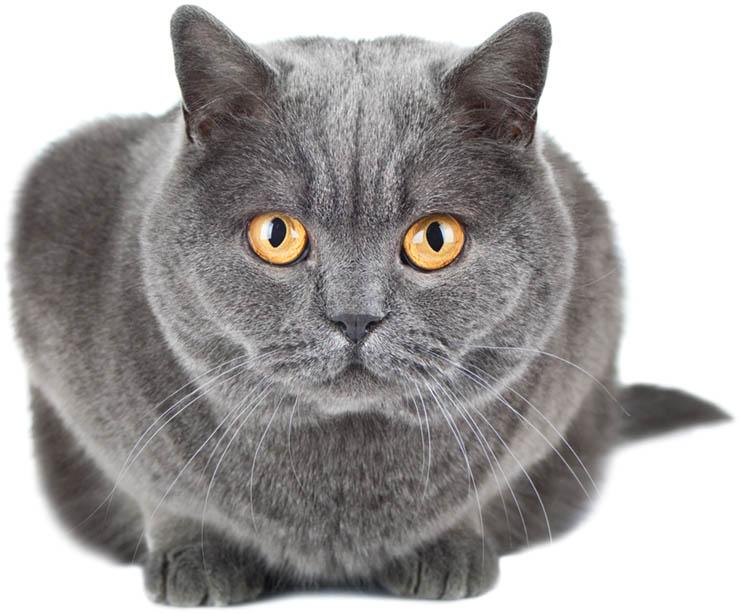 Feline Sterilization Spay/Neuter